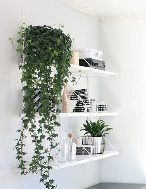 English Ivy - Indoor Plants